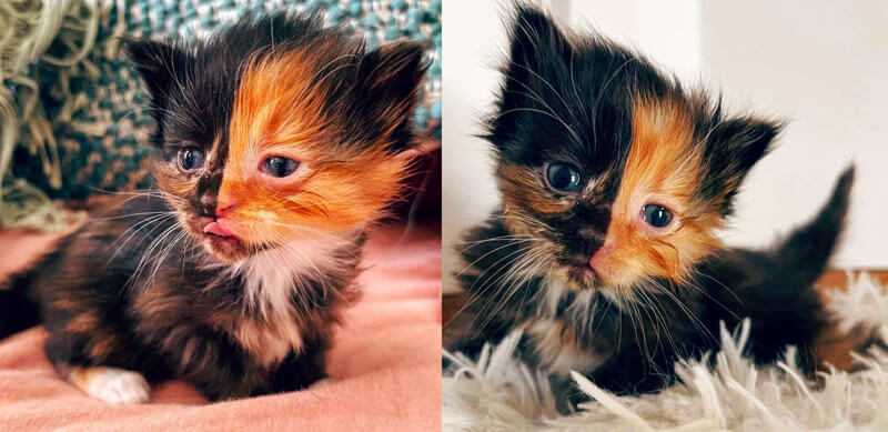 Chimera Kitten with a Two-Toned Fur Face