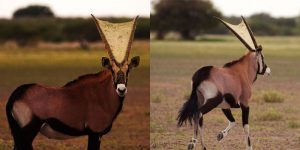 The Antelope That Coexists With Spiders