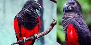 The Dracula parrot, Pesquet's parrot vulturine parrot is gothic as hell