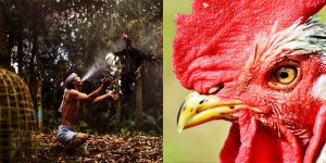 A Fighting Rooster Attacks Its Owner | Karma