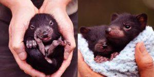 Baby Tasmanian Devils Were Born In Australia After 3000 Years