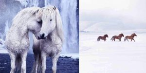 The Fairytale Photos Of Wild Horses Living In Iceland