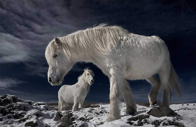 The-Fairytale-Photos-Of-Wild-Horses-Living-In-Iceland1
