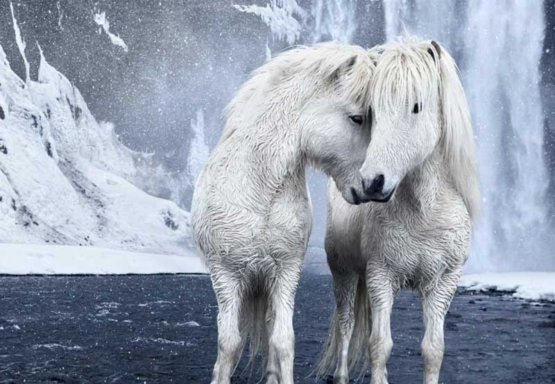 The-Fairytale-Photos-Of-Wild-Horses-Living-In-Iceland2