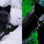 The Rare Beauty Of The Black Fox _ Endangered Species