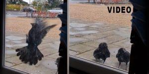 Two Criminal Ravens Filmed Holding A Shop Owner Hostage